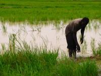 Farmer working in a rice field in Mali